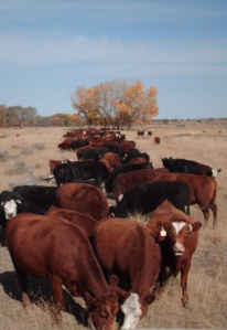 Not yearlings, but cows in a cake line